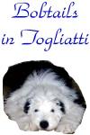 Bobtails in Togliatti